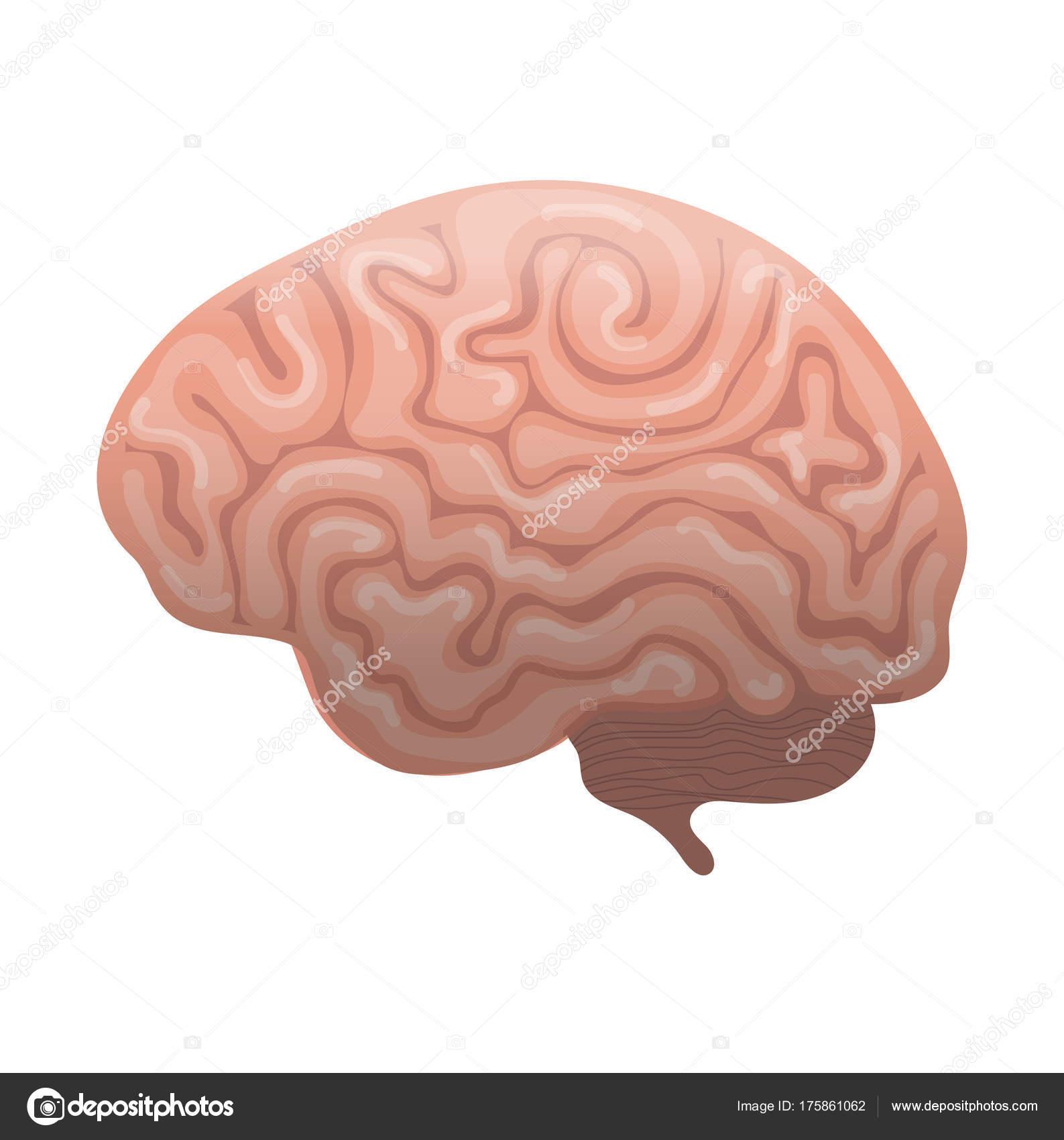 Icono del cerebro humano, estilo plano. Órganos internos del símbolo ...