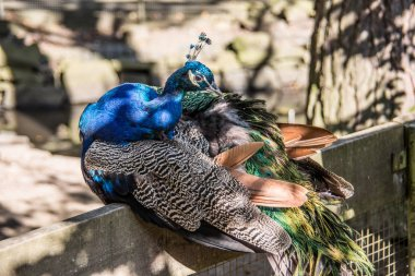 blue peacock head