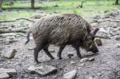 Fotografie Wildschweine im Wald suhlen