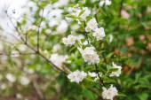 Krásné jarní třešňové květiny. Fotografie kvetoucího stromového brunche s bílými květy. Rozkvetlá větev v detailu zahrady.