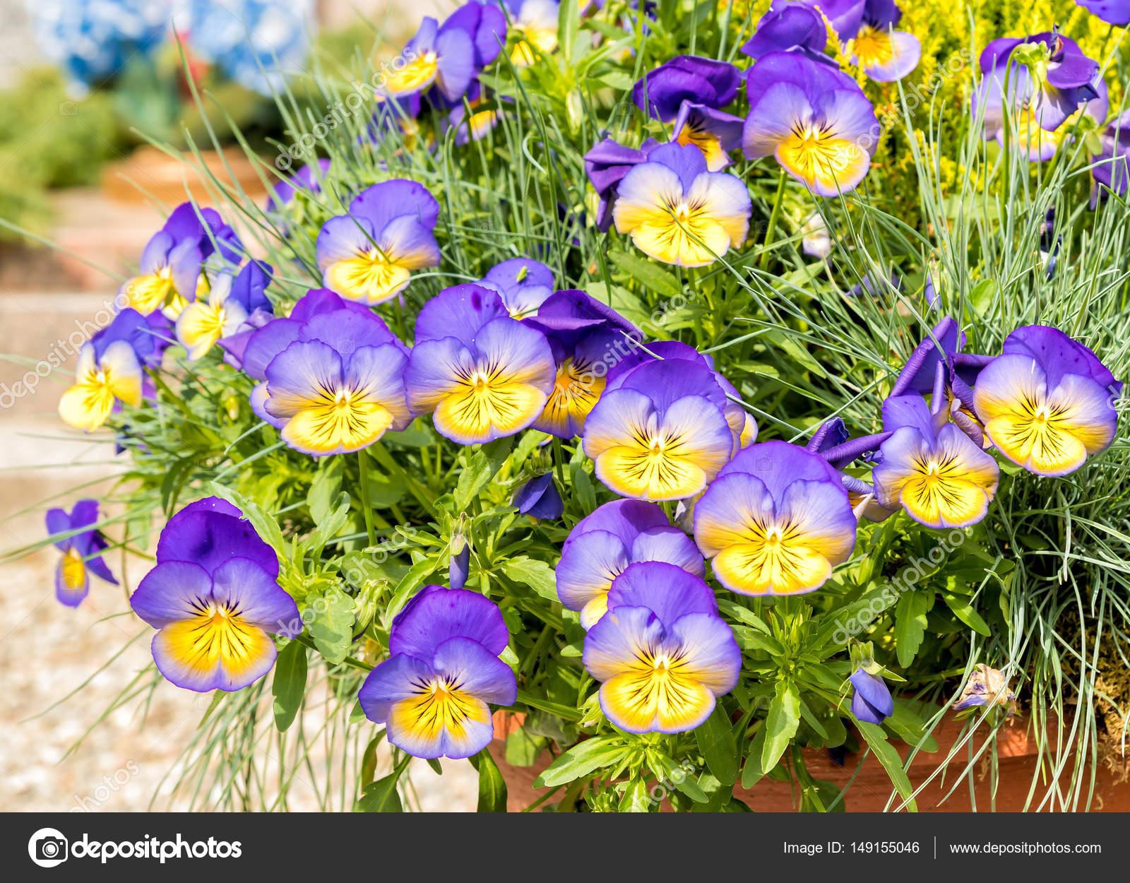 Purple And Yellow Pansy Flowers Stock Photo Elesi 149155046