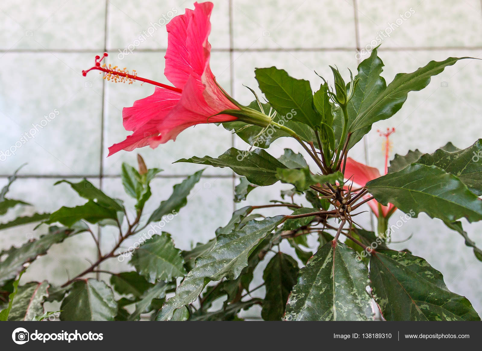 How Many Stamens Does A Gumamela Flower Have Hd Image Flower And