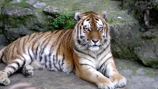 portrét tygr bengálský