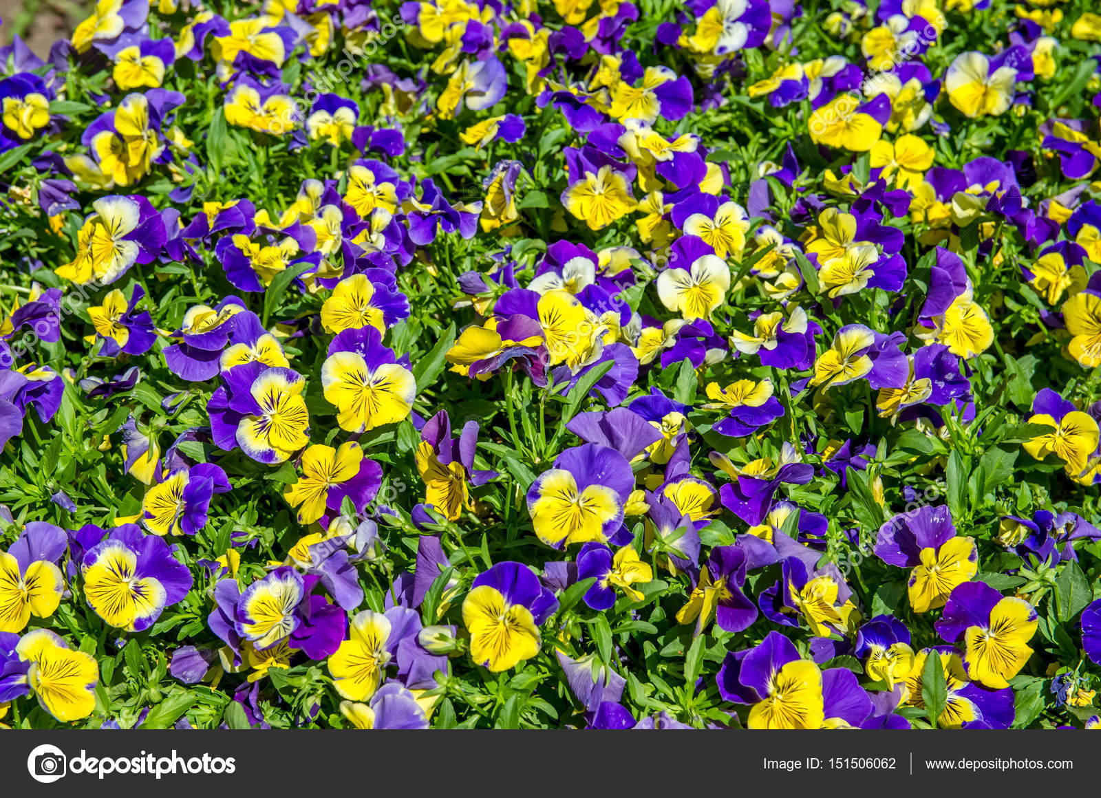 Purple And Yellow Pansy Flowers Blooming Stock Photo Gracethang