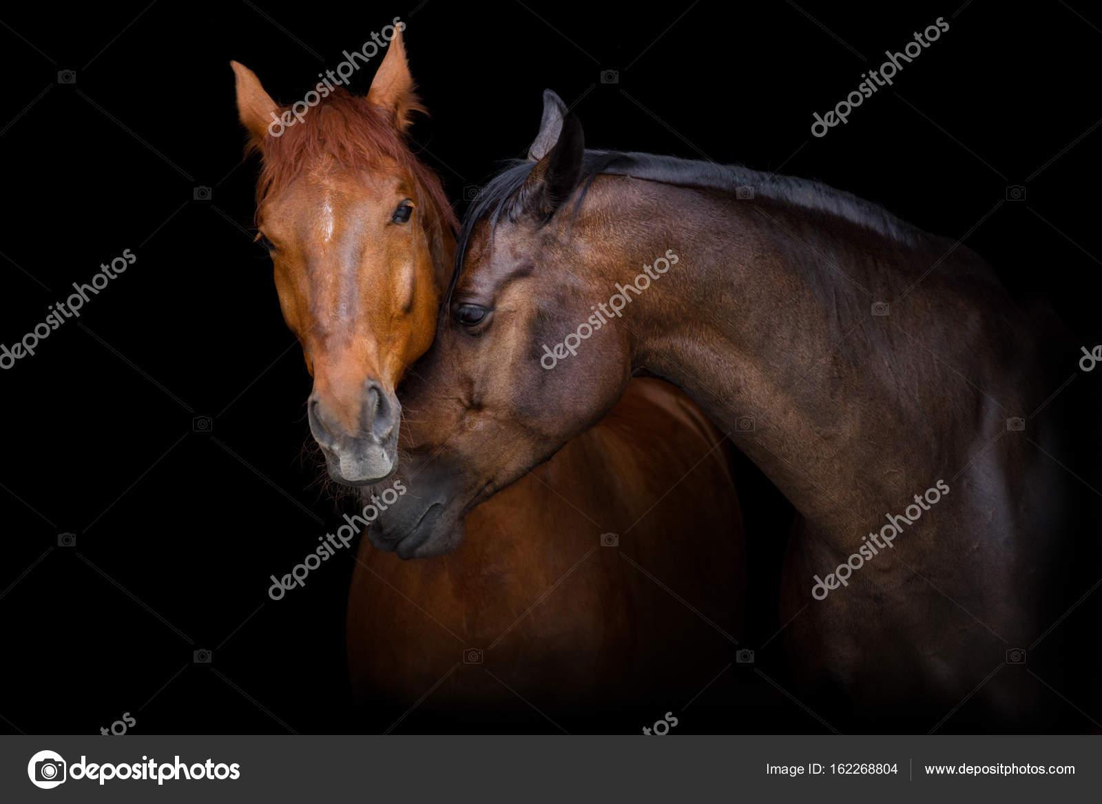 Beliebt Bevorzugt Zwei Pferde Porträt Auf Schwarzem Hintergrund Pferde Der Liebe @KK_72