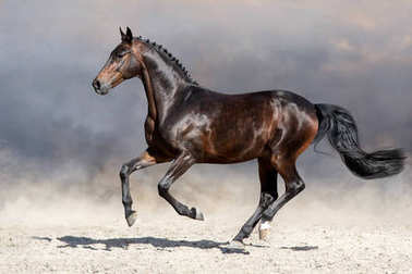 Bay stallion run fast in dust