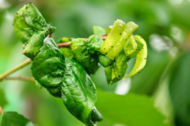 Fruit tree leaves are damaged by insects.
