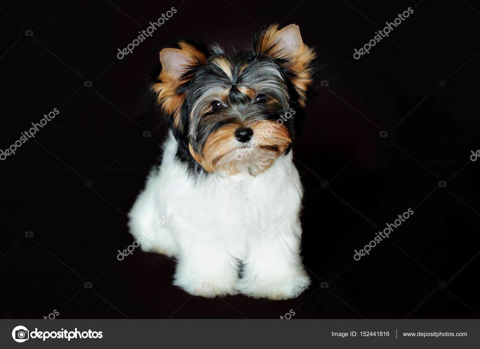 Wspaniały Bóbr york pies. Bóbr Yorkshire Terrier — Zdjęcie stockowe FE48