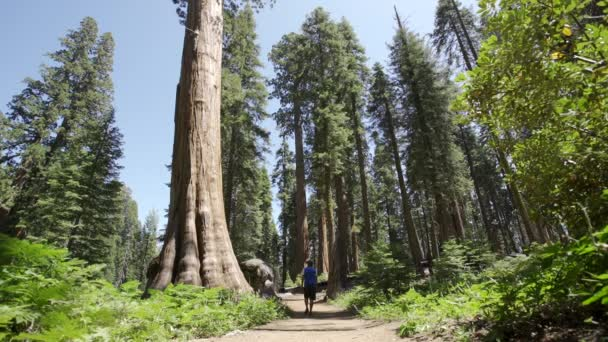 male tourist walking in Sequoia National Park, the beautiful sequoias, California, United States