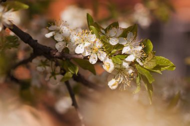 Spring. Blossom brunches of apricot trees with white flowers in a sunny day