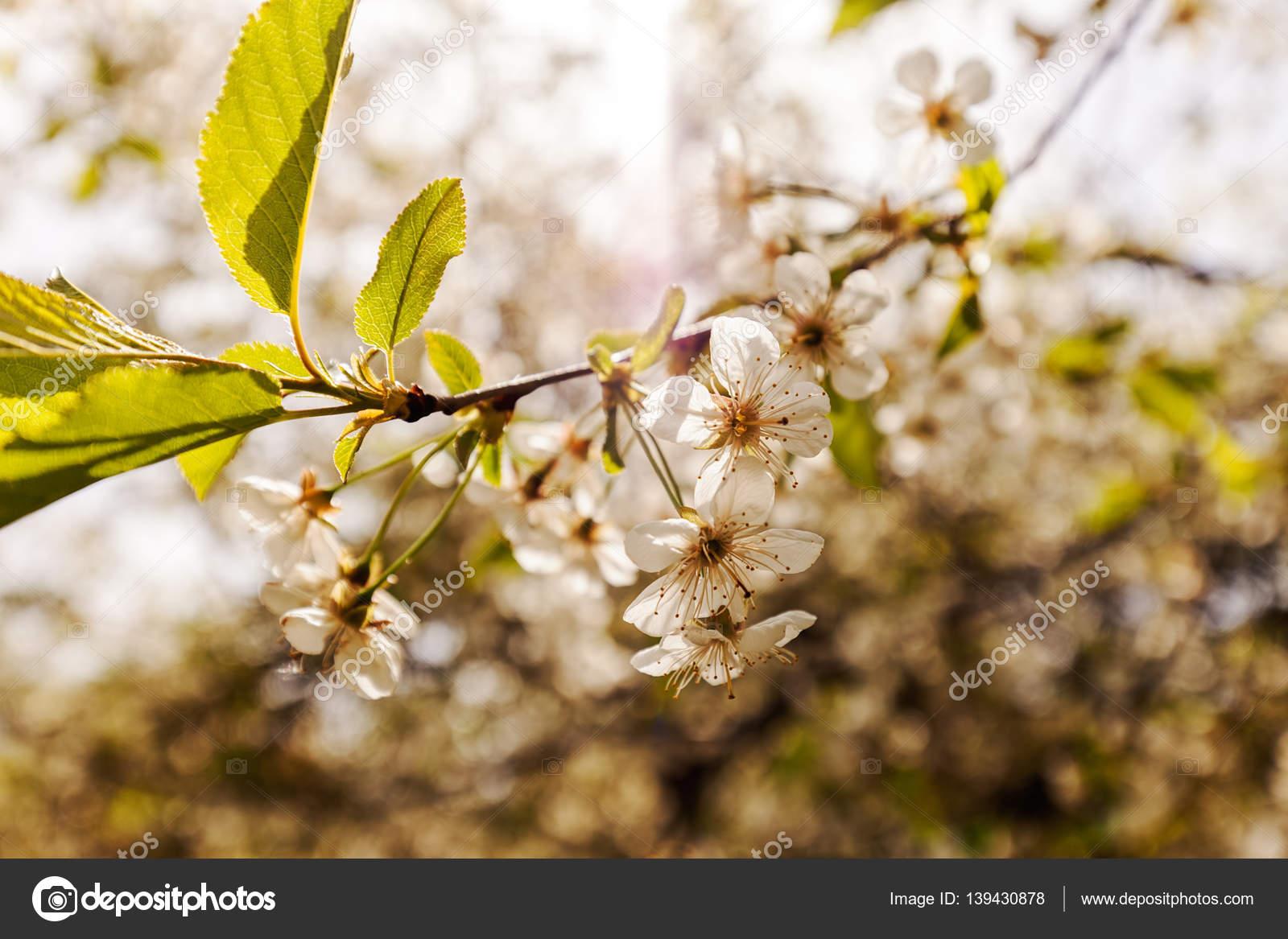 Albero Con Fiori Bianchi albero con fiori bianchi — foto stock © vladimirnenezic