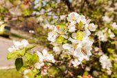 jablečný květ na větve