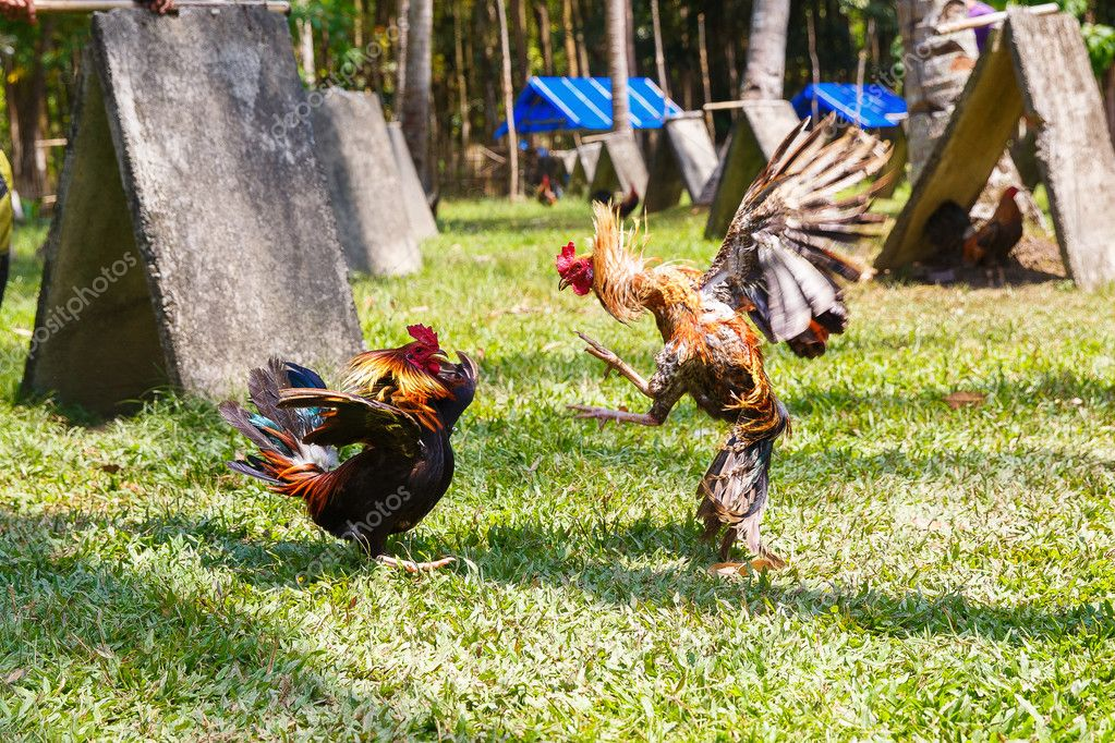 Philippine traditional cockfighting competition on green grass.