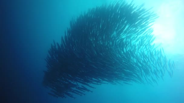 Schule der Chevron-Barrakuda-Fische unter Wasser