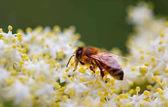a méhek a virágport gyűjtő