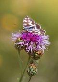 pillangó a virág lila knapweed