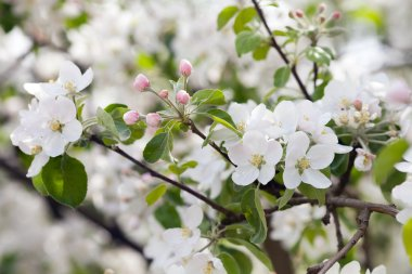 A branch of blooming apple tree