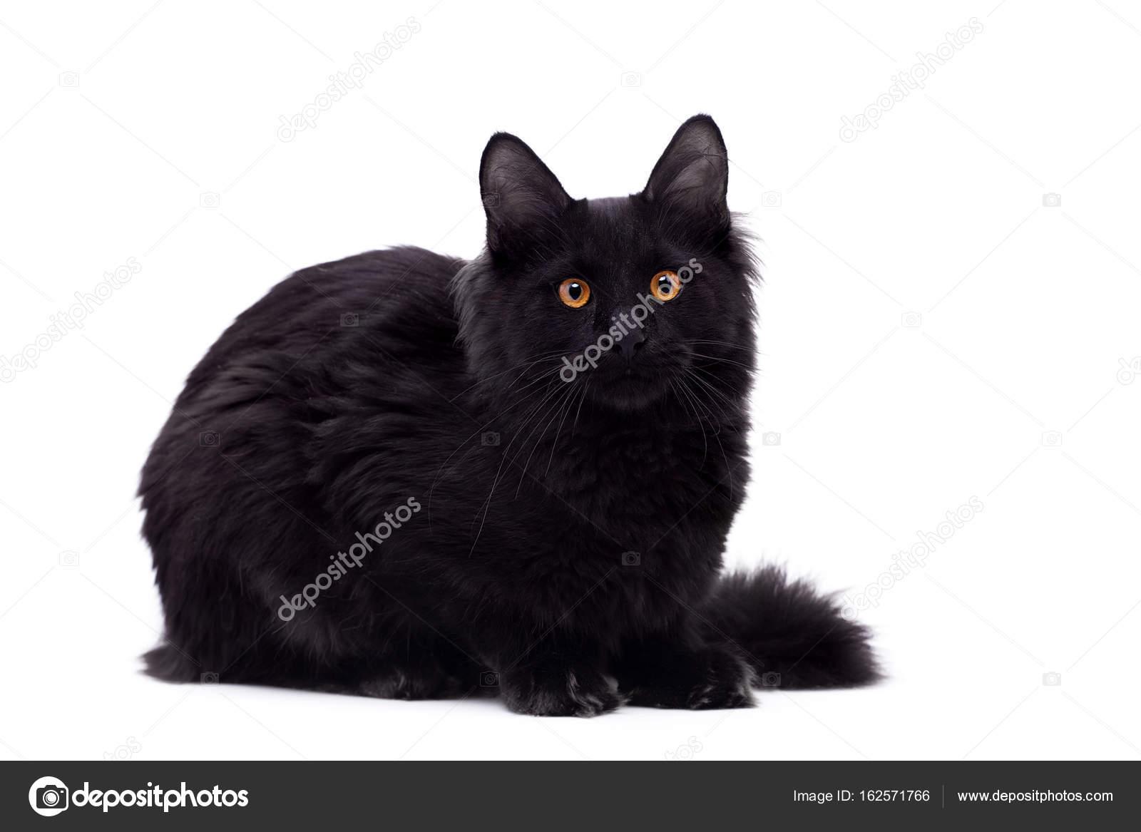 Czarne Maine Coon Kot Biały Zdjęcie Stockowe Farinosa 162571766