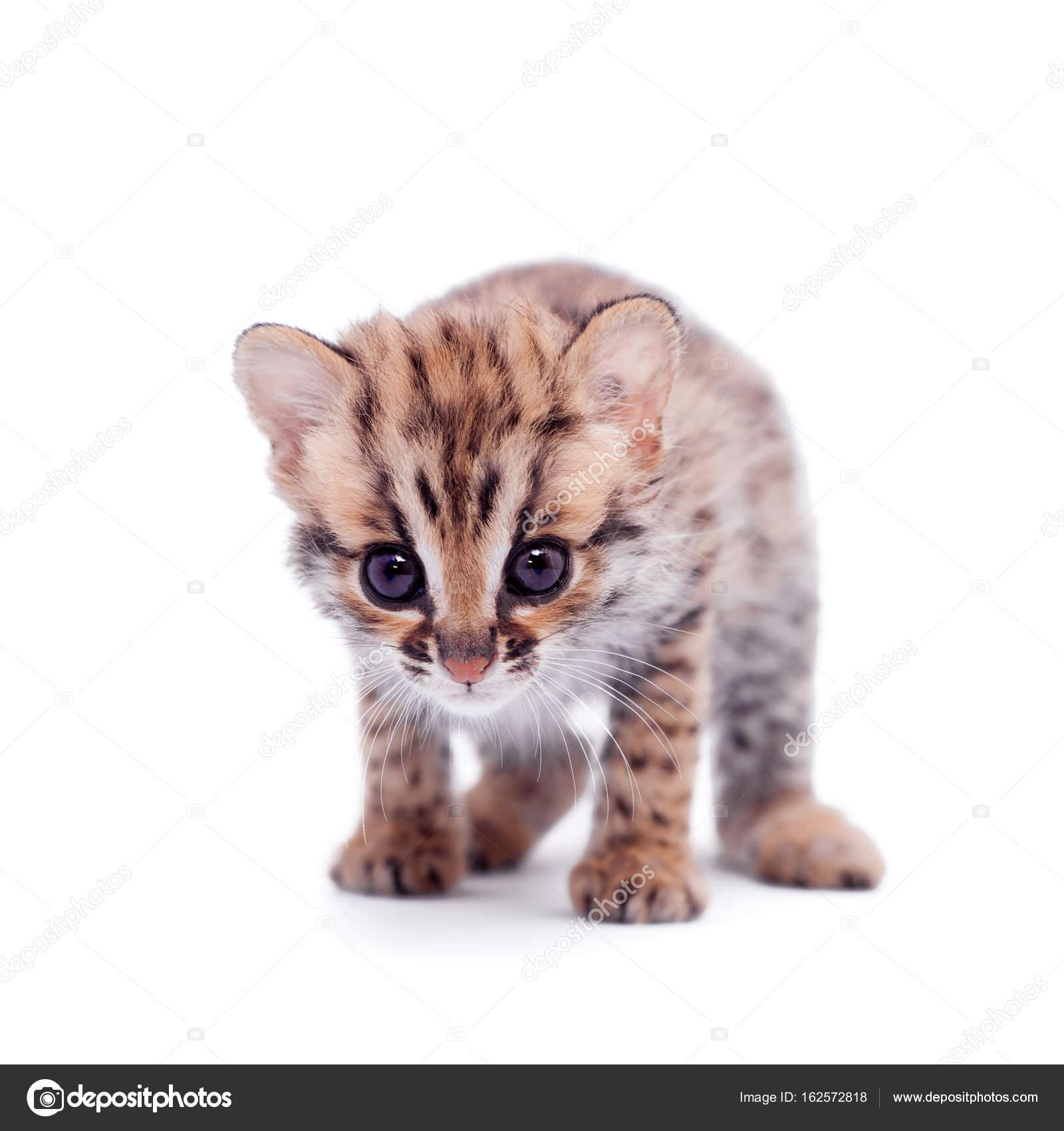 Kot Azjatycki Lampart Na Białym Zdjęcie Stockowe Farinosa 162572818