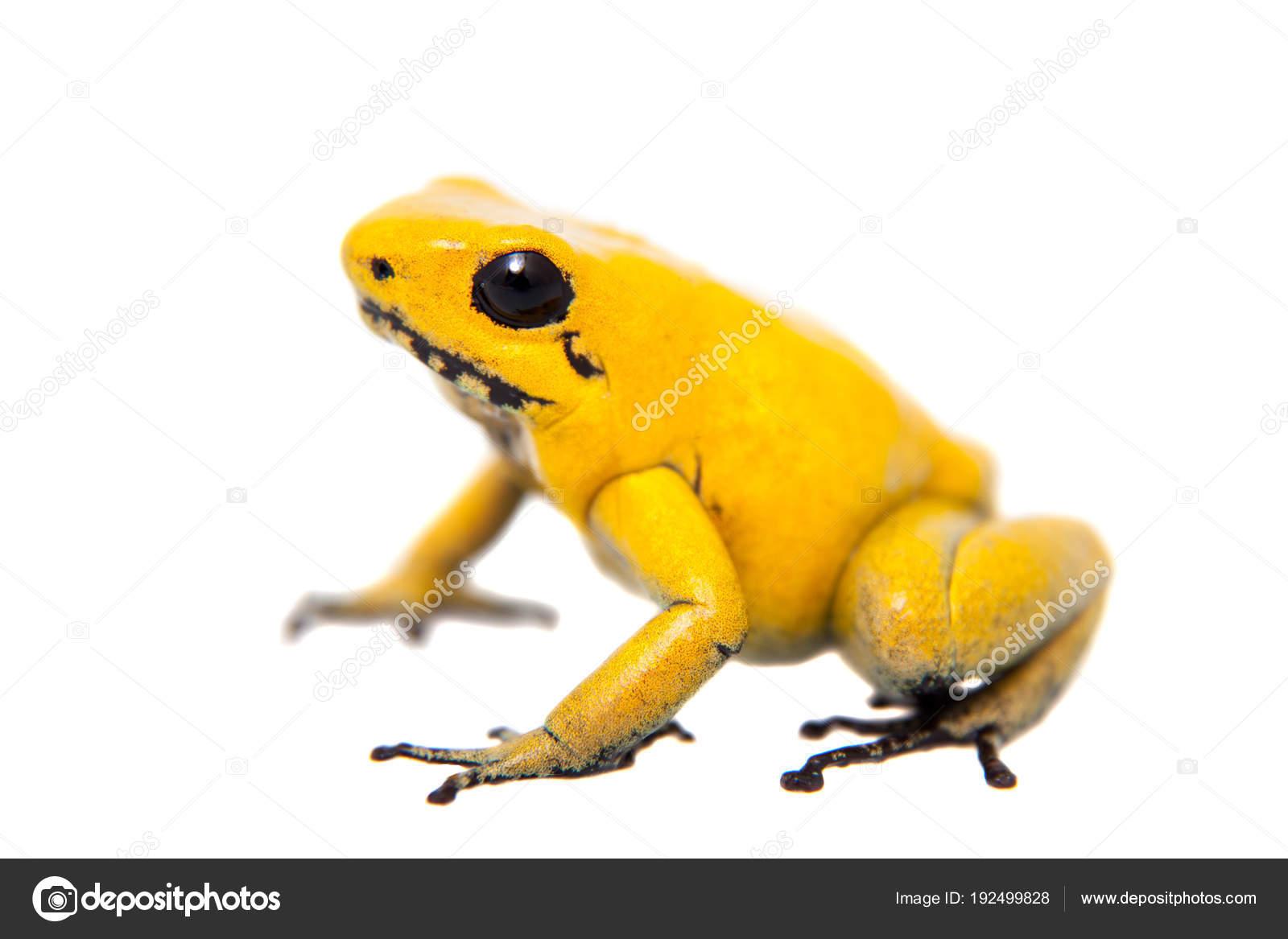 the golden poison frog stock photo farinosa 192499828