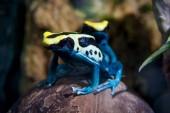 Fotografie Patricia färben Poison Dart Frog, Dendrobates tinctorius
