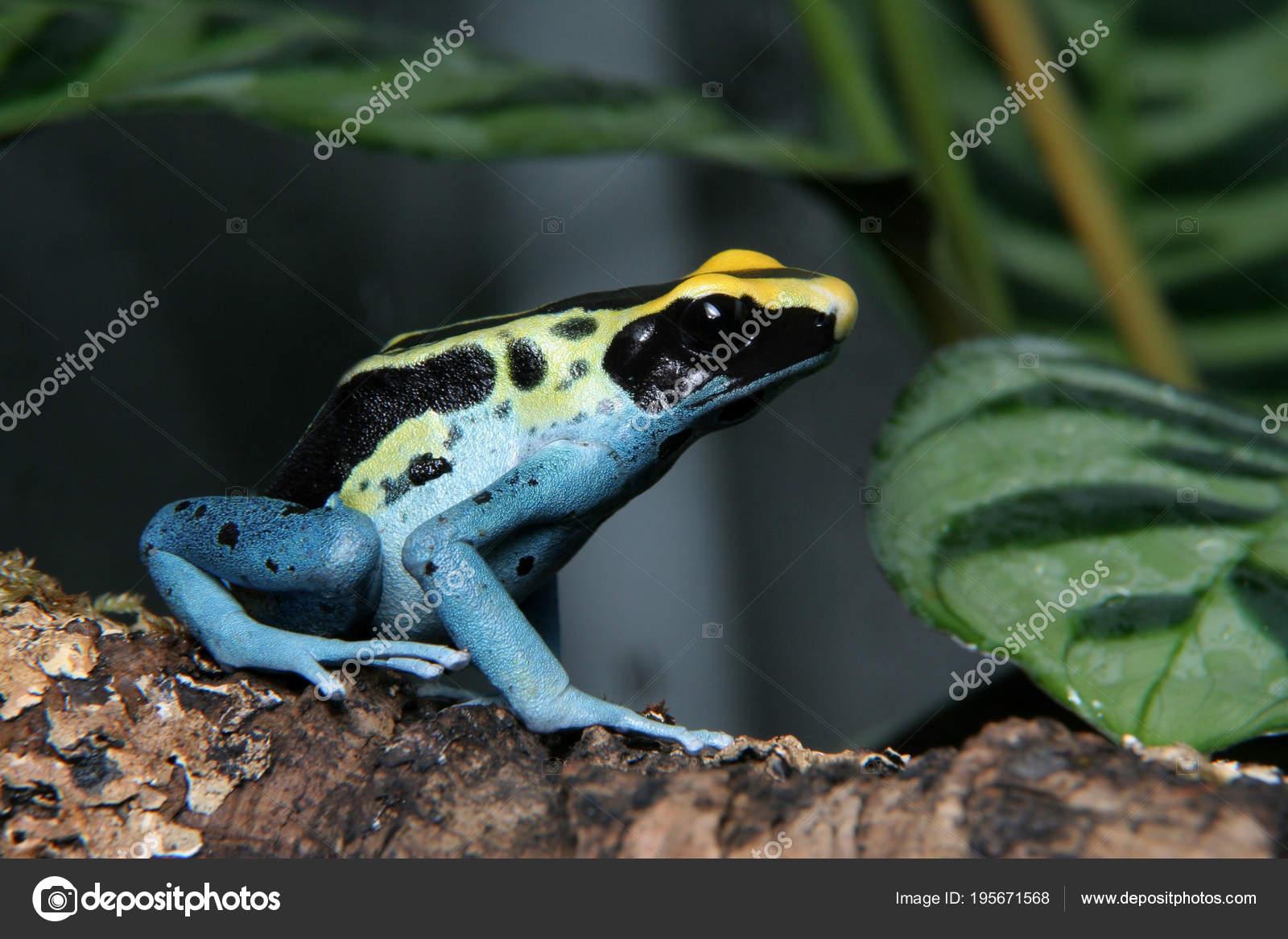 Patricia Dyeing Poison Dart Frog Dendrobates Tinctorius Stock