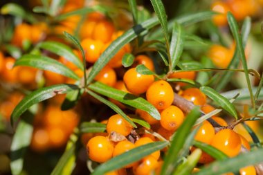Hippophae rhamnoides. Branch of sea buckthorn with berries