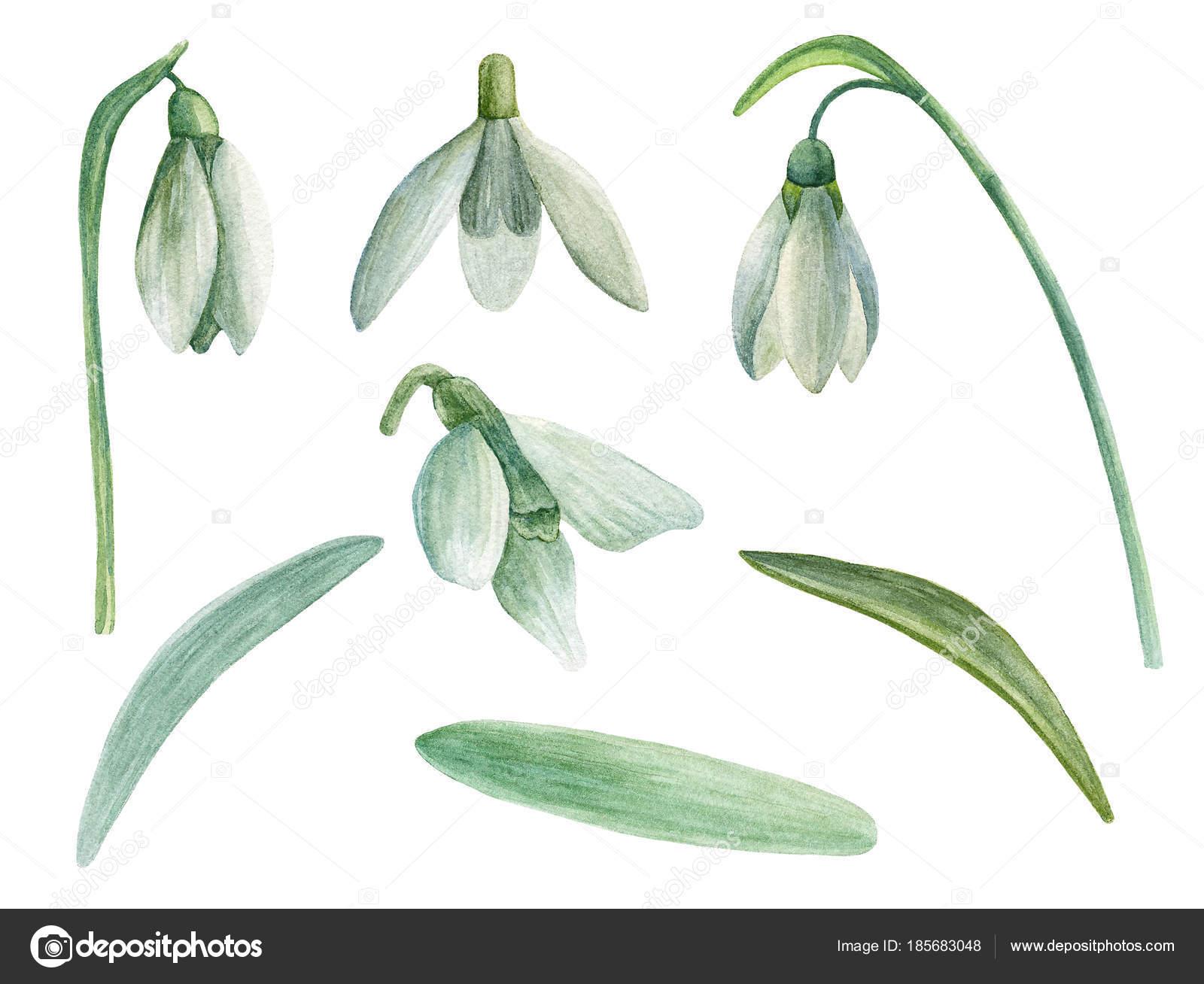 Schneeglöckchen Vektor Cliparts Frühling Blumen Aquarell Handgemalte