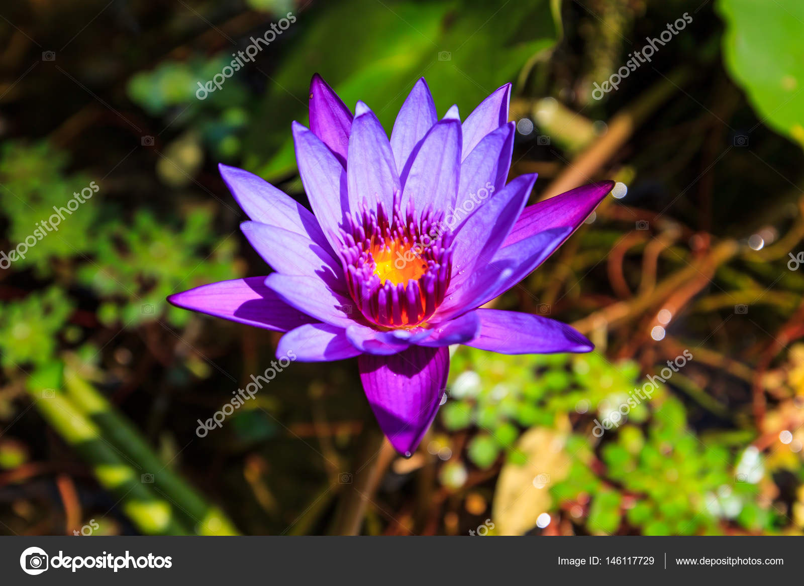 Top view magenta lotus flower in the garden stock photo top view magenta lotus flower in the garden stock photo izmirmasajfo