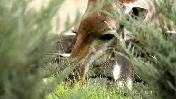 Tráva, jíst žirafa