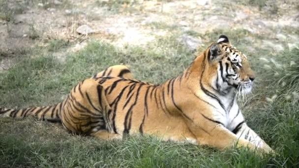Fekve tigris