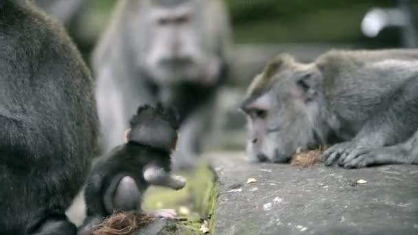 Baby monkey and adult monkeys around at Sacred Monkey Forest Ubud.