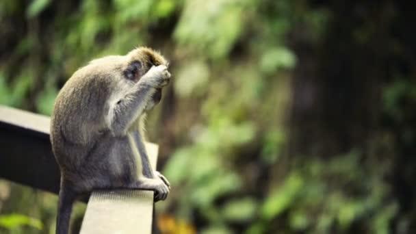 Monkey in Sacred Monkey Forest Sanctuary in Ubud Bali Indonesia