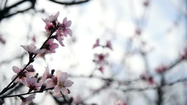Mandlové nebo švestková květiny kvetoucí v jarní sezóně