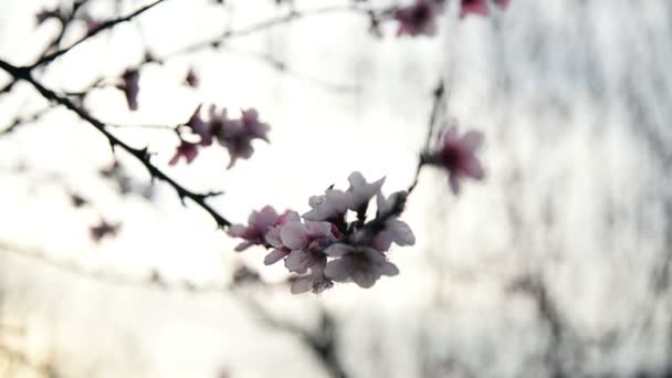 Almond or plum flowers Blossoming in spring season.
