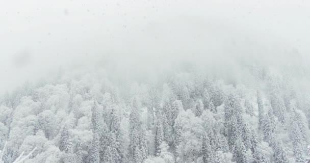 Snowing 4K landscape footage on snowy Pine trees.