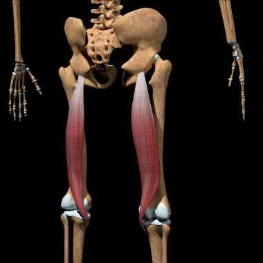This 3d illustration shows the semitendinosus muscles on skeleton