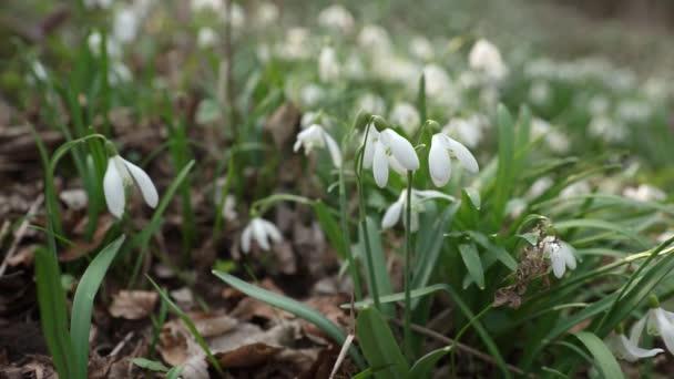 V jarním květu bílé sněhové kapky květiny v lese
