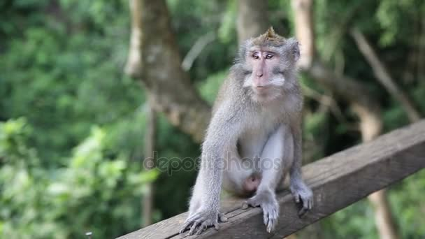 Monkey At Sacred Monkey Forest. Ubud, Bali, Indonesia