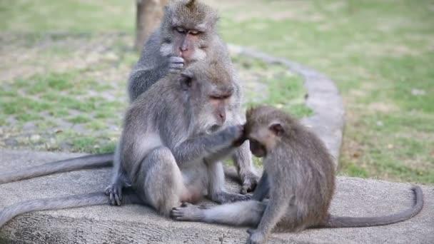 Opičí rodina na Sacred Monkey Forest. Ubud, Bali, Indonésie