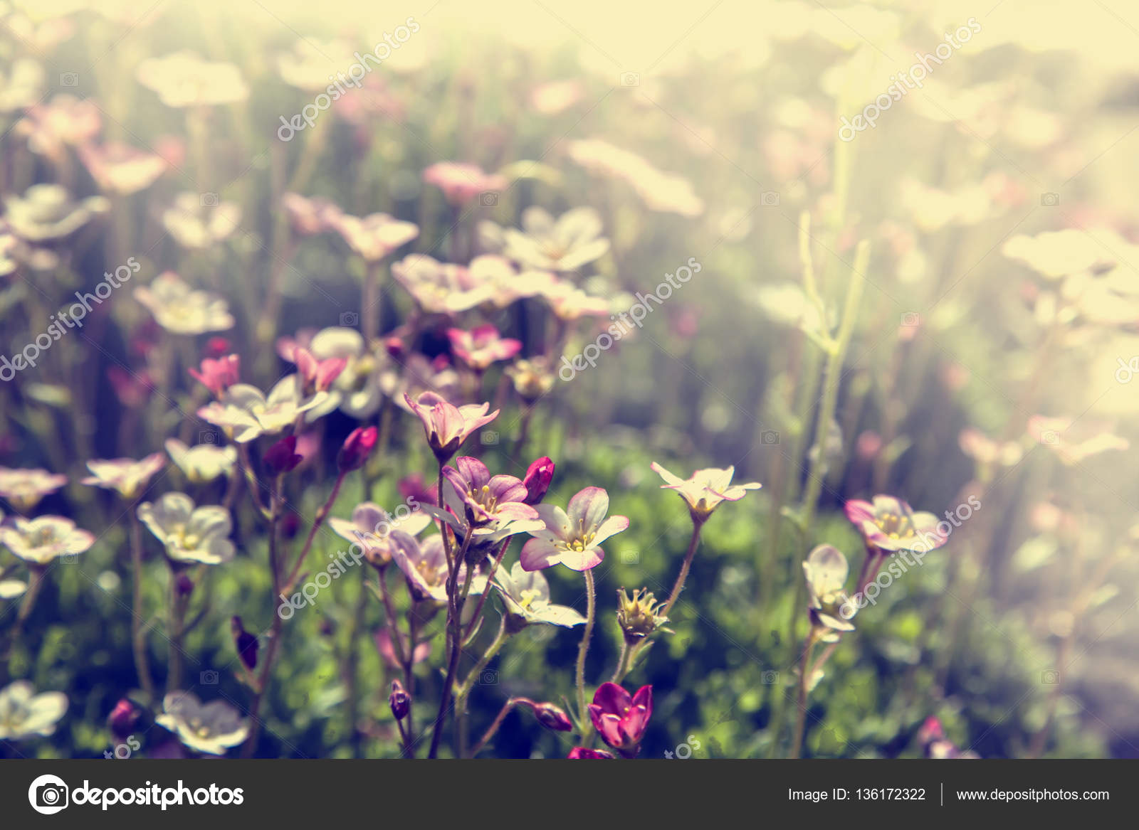 Beautiful Light Purple Flowers Meadow Sunny Day Stock Photo