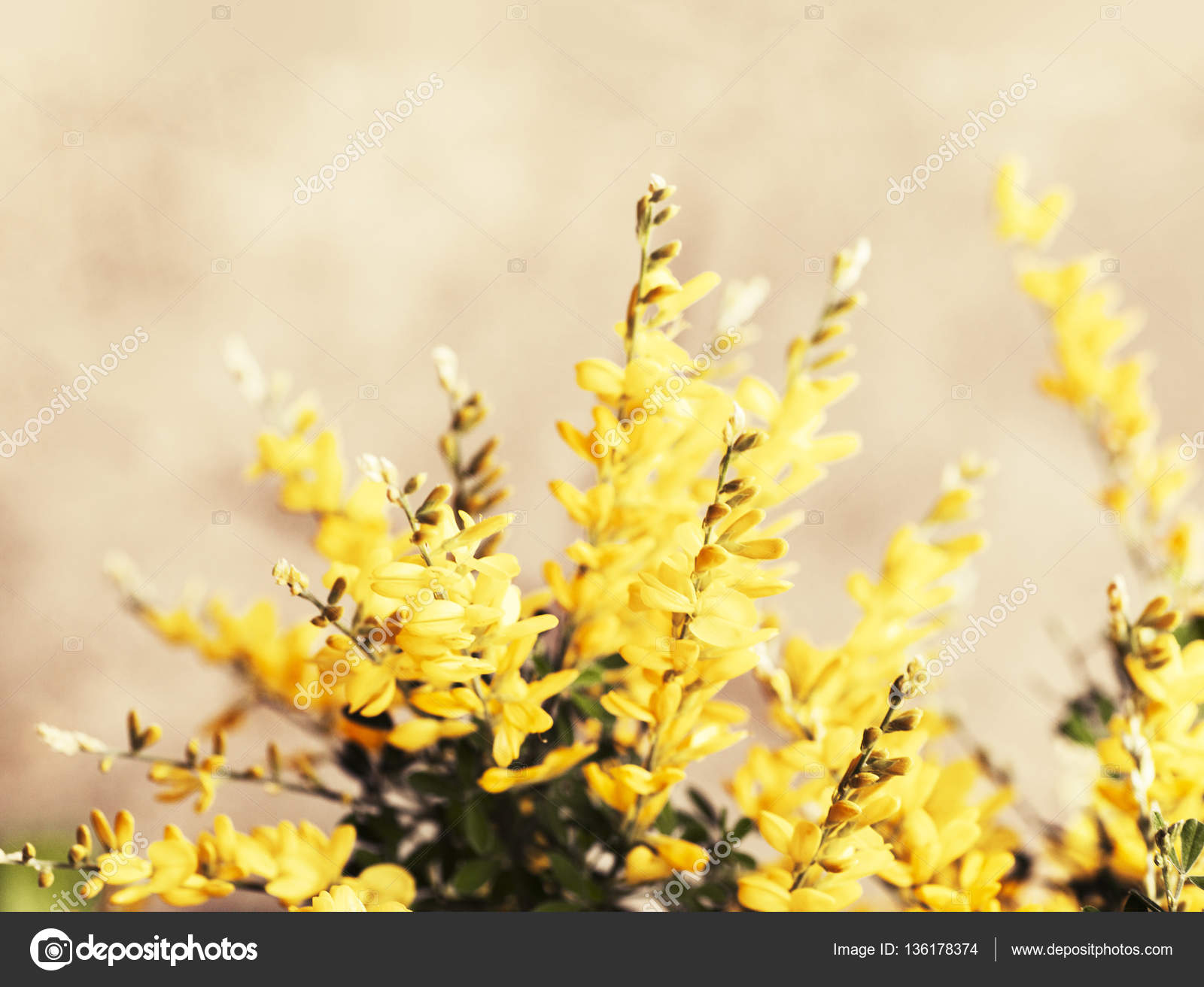 Bush Bright Yellow Flowers Sunny Day Stock Photo Artnature