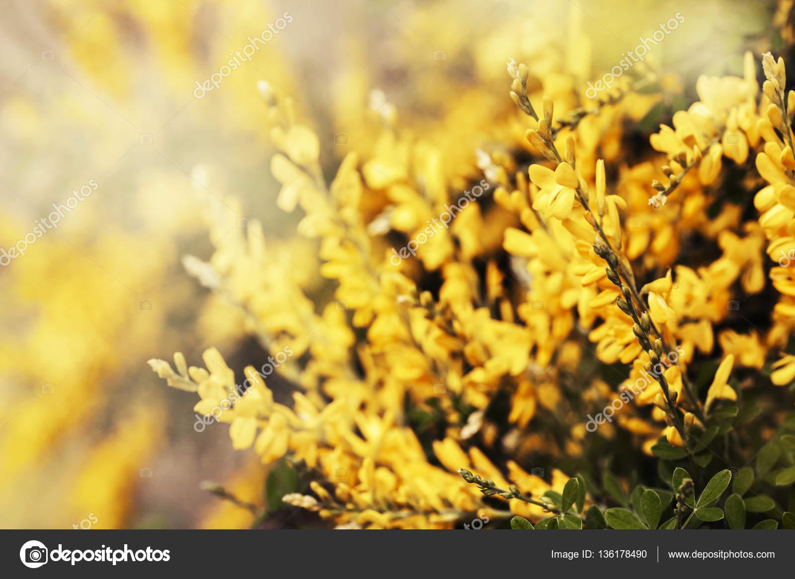 Bush bright yellow flowers sunny day stock photo artnature bush bright yellow flowers sunny day stock photo mightylinksfo