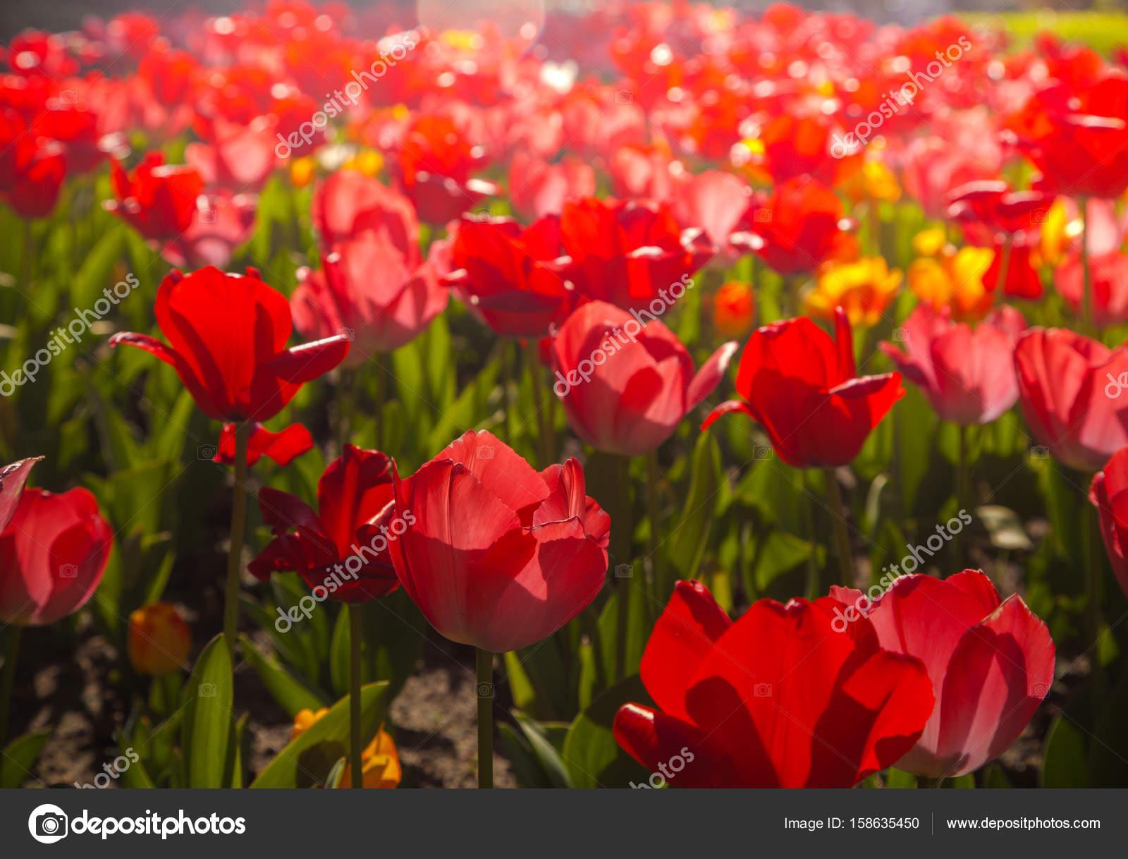 Beautiful tulips flowers in garden stock photo artnature 158635450 beautiful tulips flowers in garden at sunny summer day photo by artnature izmirmasajfo