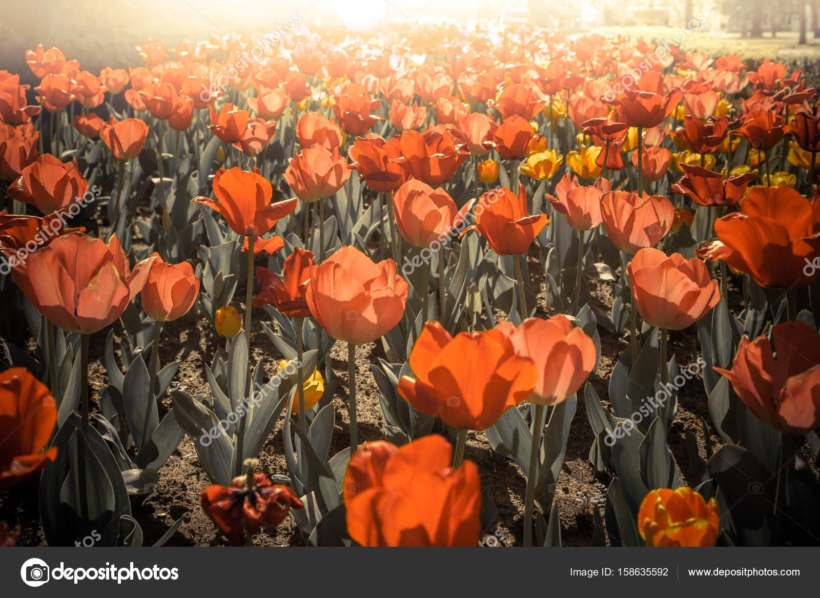Beautiful Tulips Flowers In Garden Stock Photo Artnature 158635592