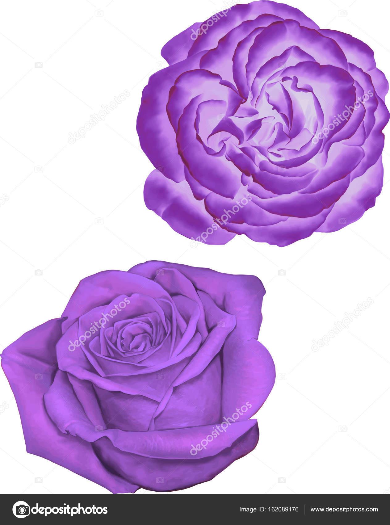 Beautiful Light Purple Rose Flowers Isolated On White Background Vector Illustration Photo By Artnature