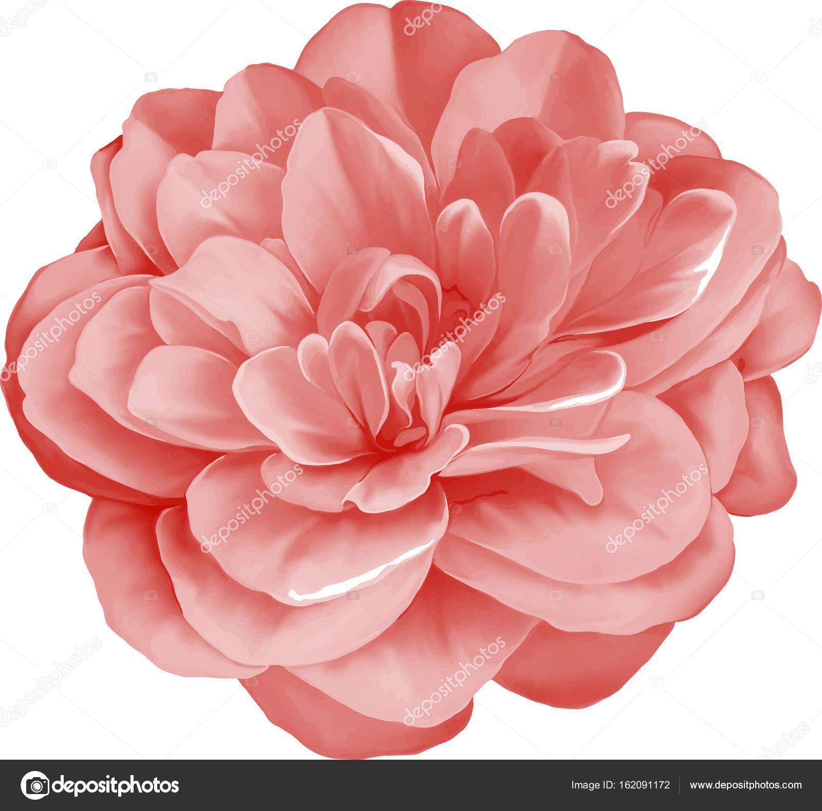 Pink Camellia Flower Stock Photo Artnature 162091172