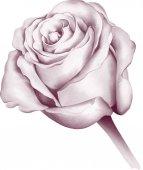 Rosenblütenknospe