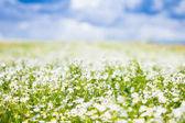 Pole daisy květů v létě