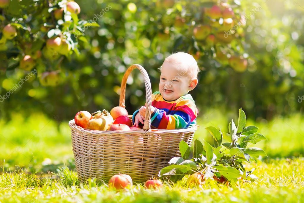Baby in apple basket in autumn fruit orchard